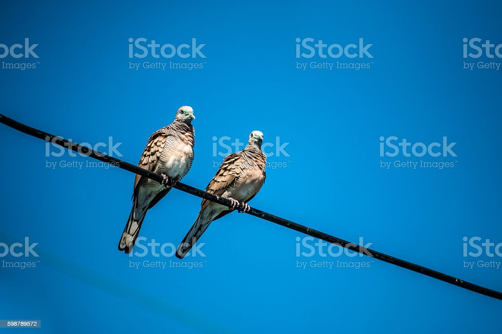 Dove is a ture Lover,two birds are on wire. stock photo