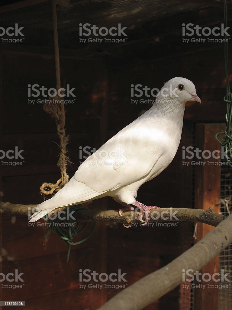 Dove on a swing stock photo