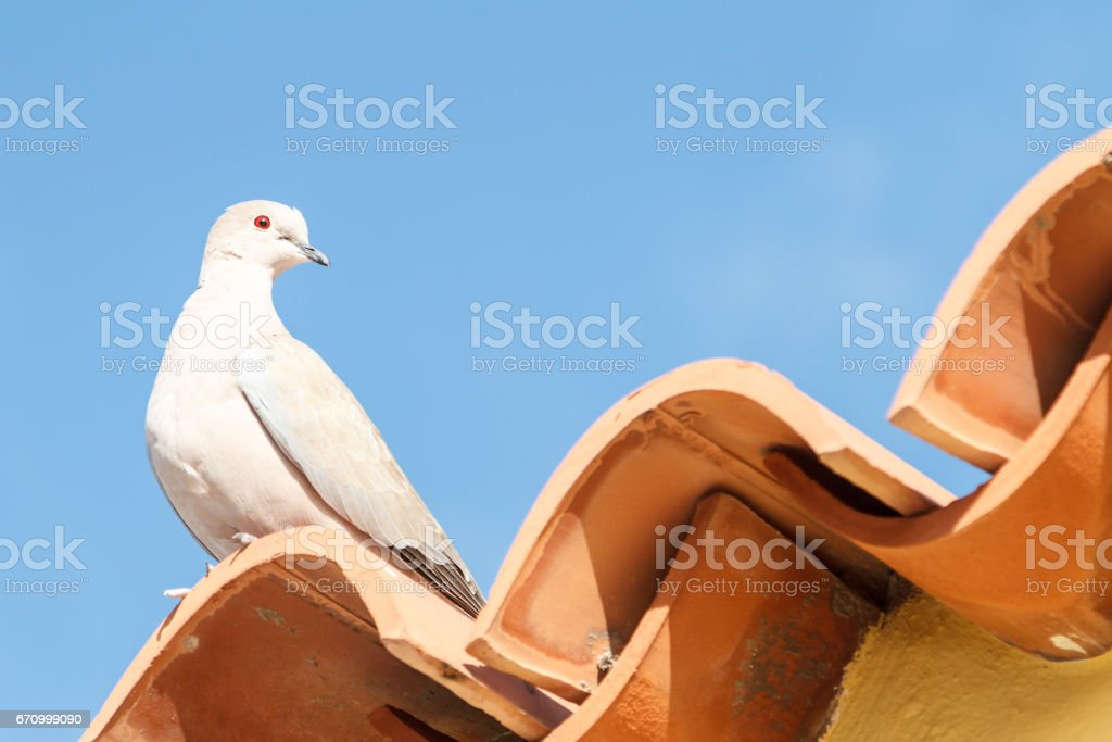 Dove on a terracotta tiled roof - 2 stock photo