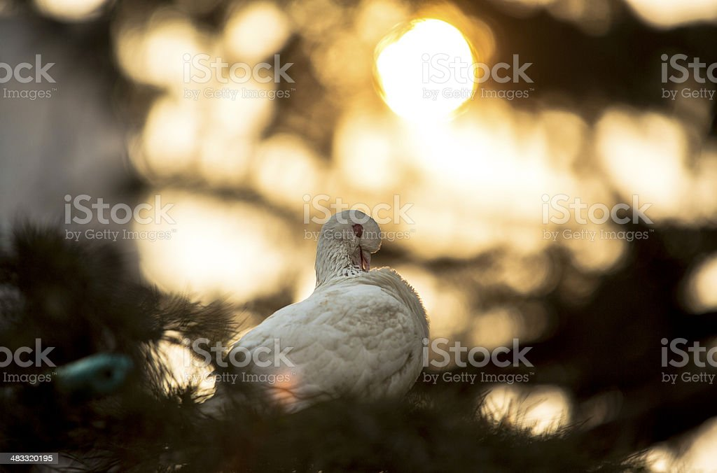dove on a tree in sunset light royalty-free stock photo
