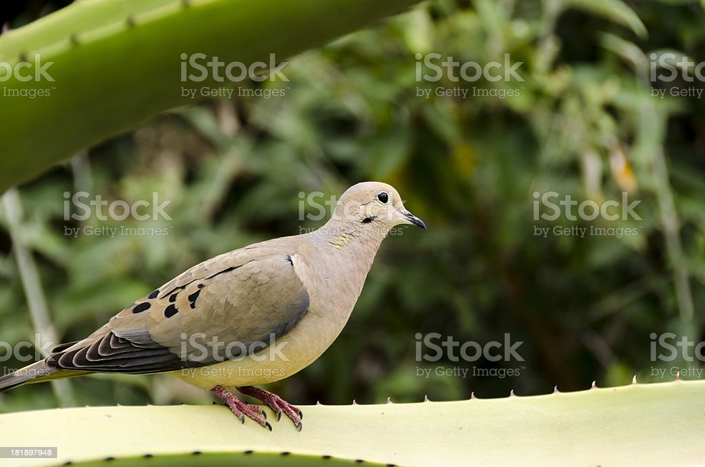 Dove on a Yucca Leaf stock photo