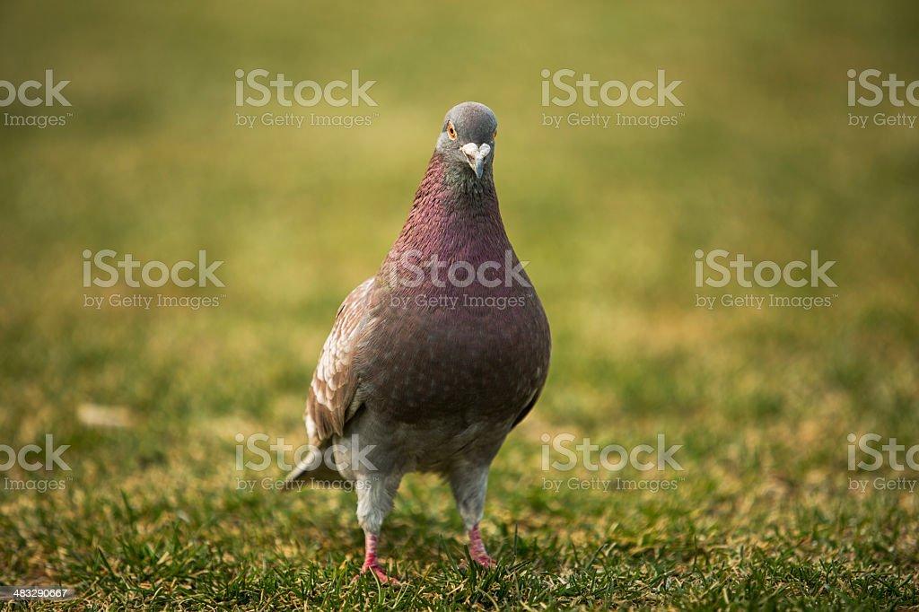 dove on the grassland royalty-free stock photo