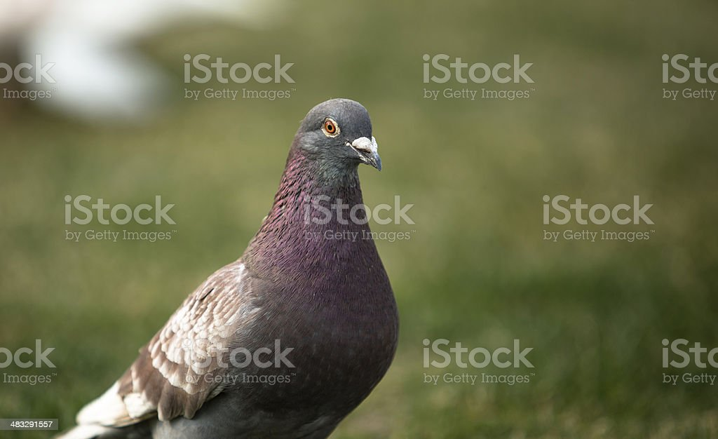 dove on the grassland royalty-free stock photo
