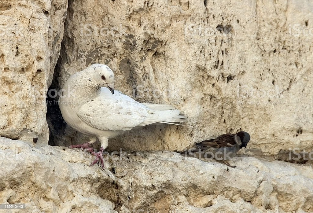 Dove on wall royalty-free stock photo
