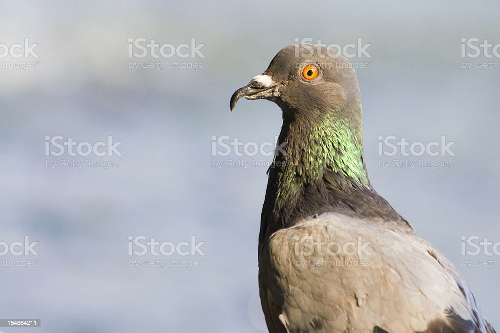 Dove or pigeon royalty-free stock photo