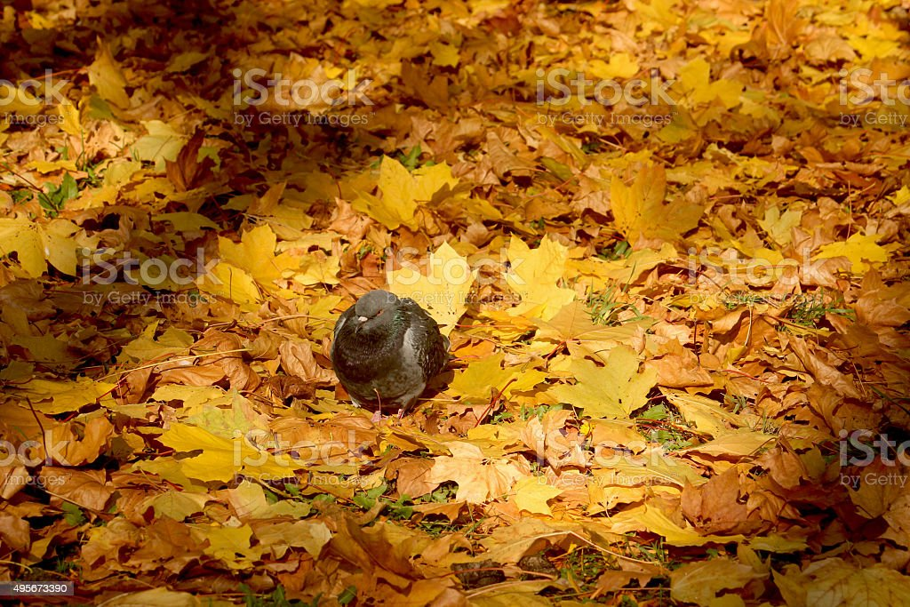 Dove siting in the carpet of leaves stock photo