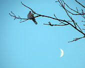 Dove sitting on bare branch with crescent moon