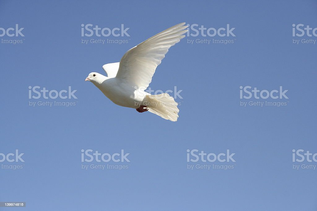 A dove soaring with sky background royalty-free stock photo