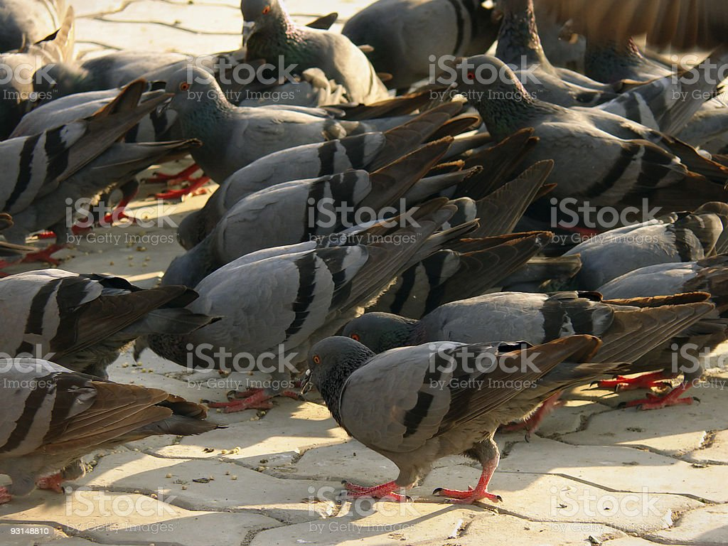 Doves eating food at tourist place stock photo