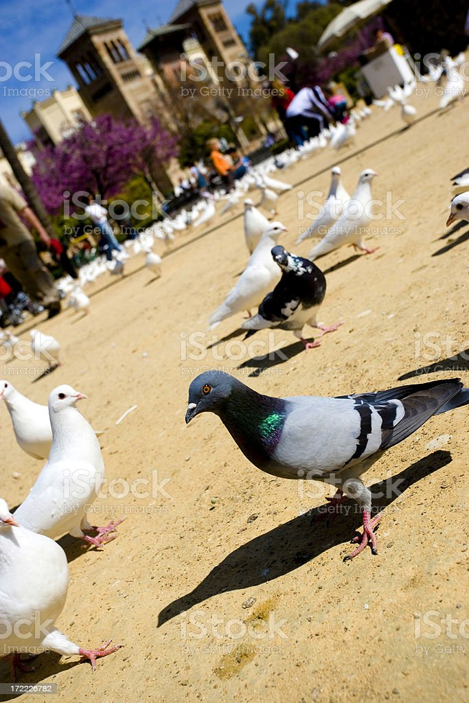 Doves royalty-free stock photo