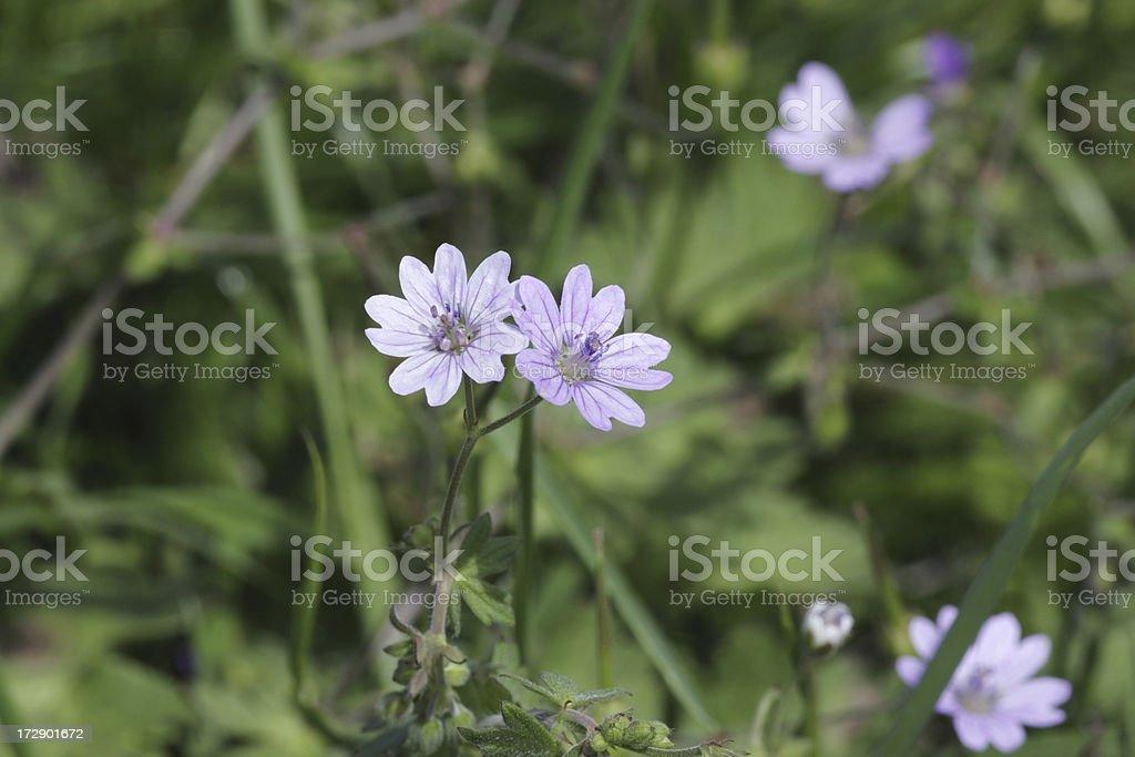 Dovesfoot cranesbill wild flowers violet coloured Geranium molle stock photo