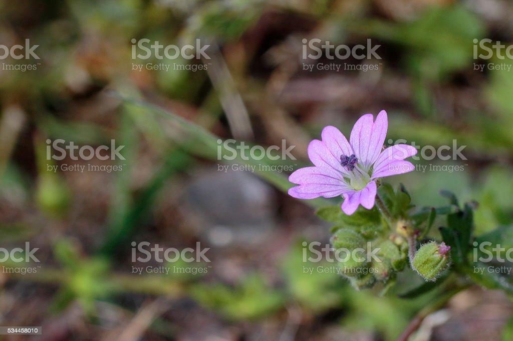Dovesfoot cranesbill wild flowers violet pink Geranium molle stock photo