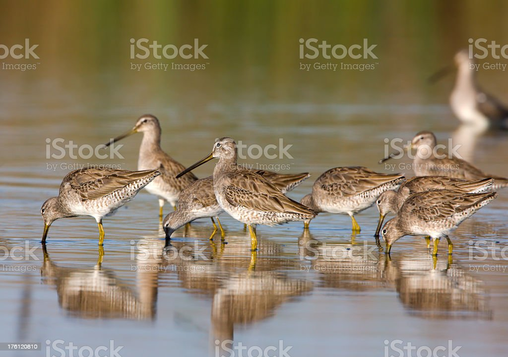Dowitchers - Shortbilled royalty-free stock photo