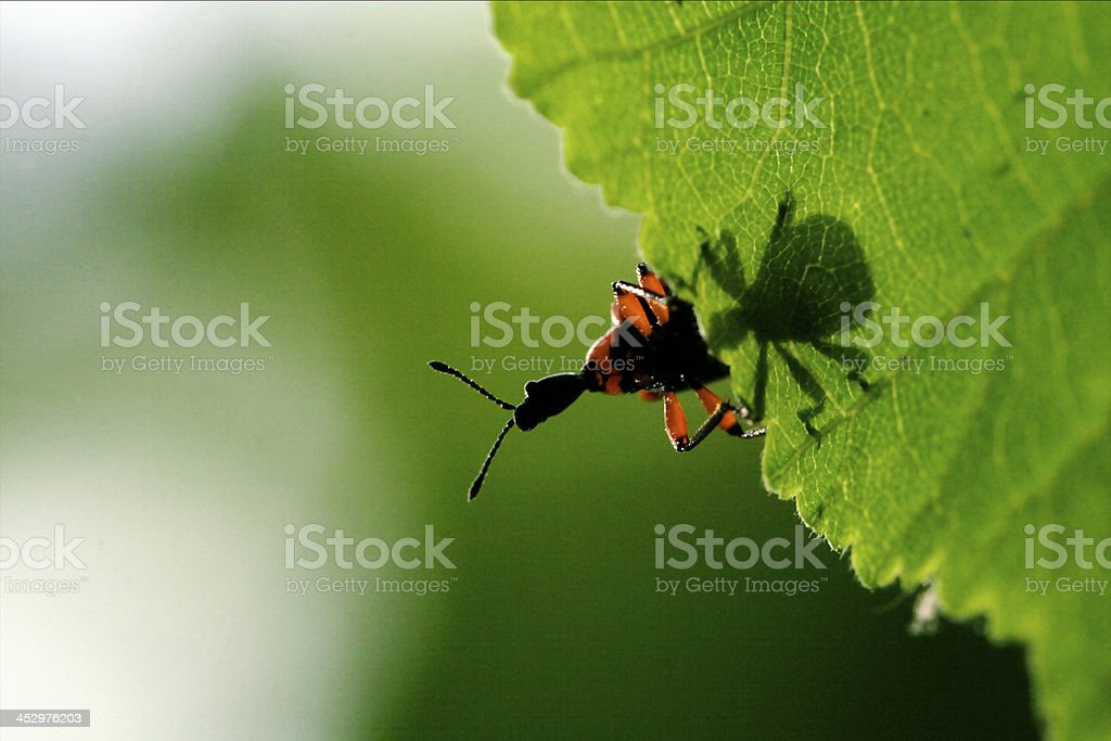 down of  wild red carabidae coccinellidae stock photo