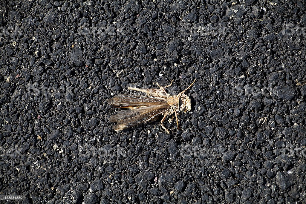 downtrodden smashed on the road grasshopper royalty-free stock photo