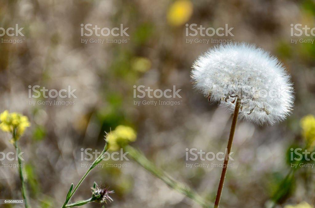Downy dandelion clock ready to spread its seeds stock photo