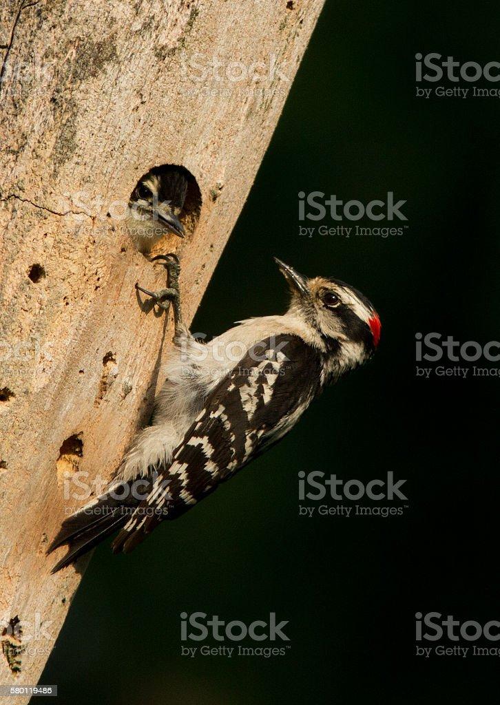 Downy Woodpecker at nest stock photo