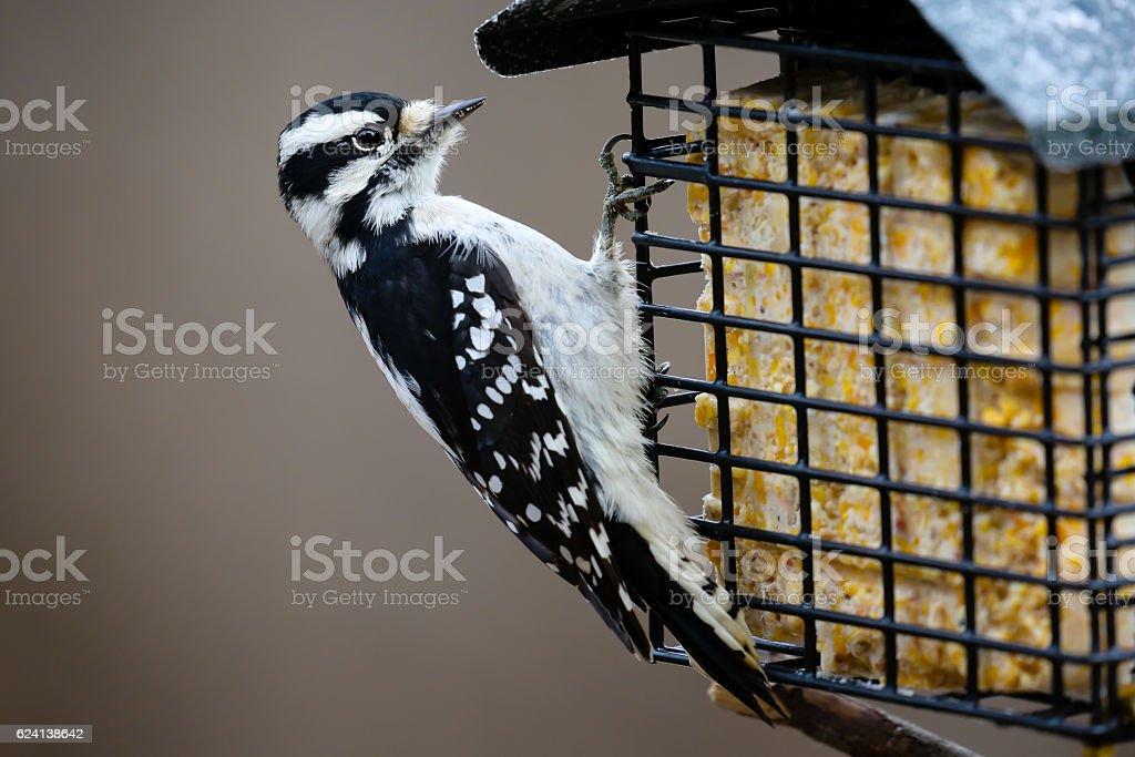 Downy Woodpecker Eating Suet stock photo
