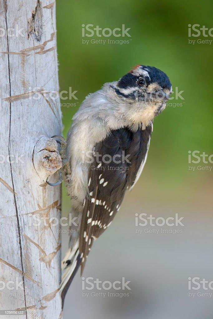 Downy Woodpecker - Immature stock photo