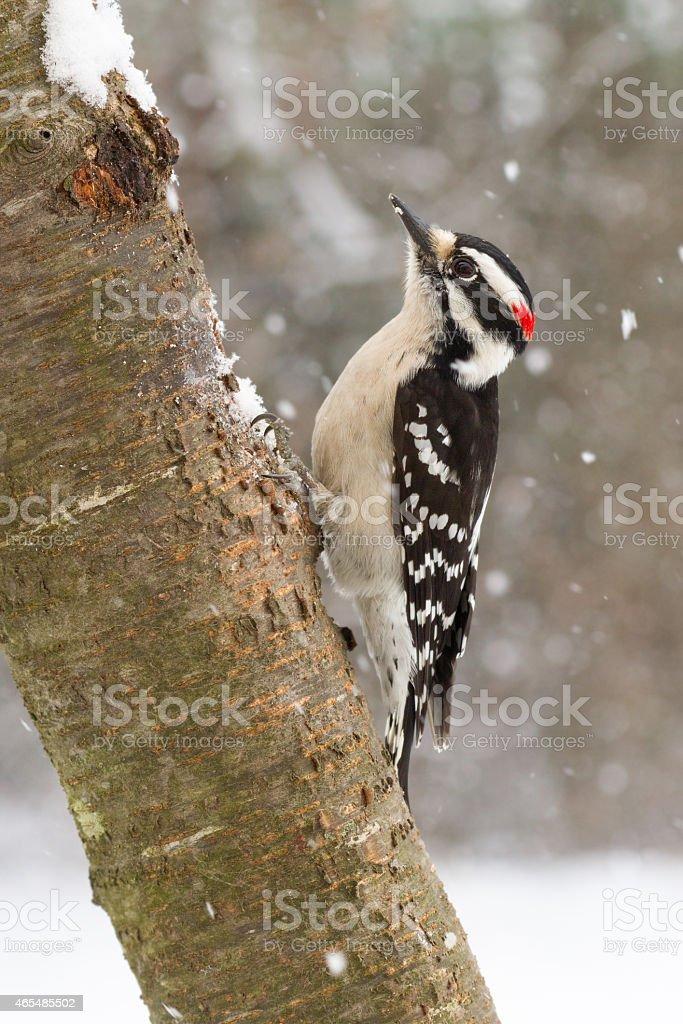 Downy Woodpecker in Snow stock photo