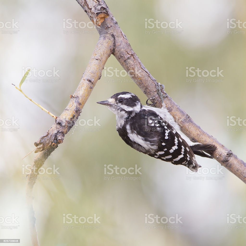 Downy woodpecker (Dryobates pubescens) is foraging for plant lice. stock photo
