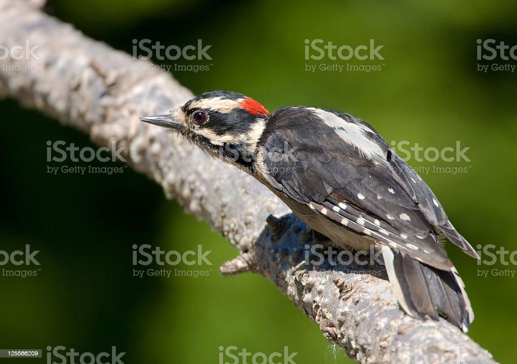 Downy Woodpecker - Male stock photo