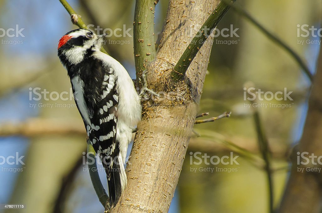 Downy Woodpecker moving up the tree stock photo