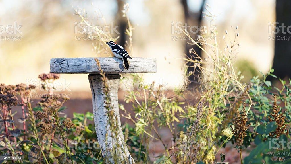 Downy Woodpecker on a Birdbath stock photo