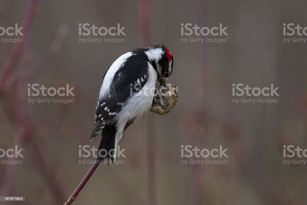 Downy Woodpecker on a wild rose gall. stock photo