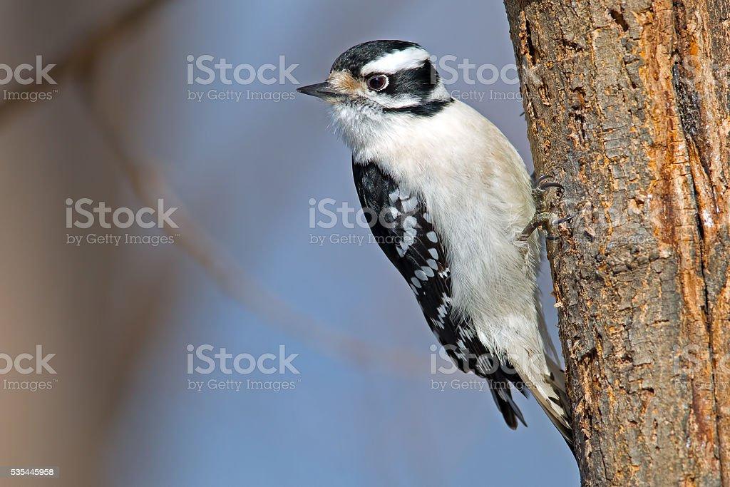 Downy Woodpecker on Tree Female stock photo