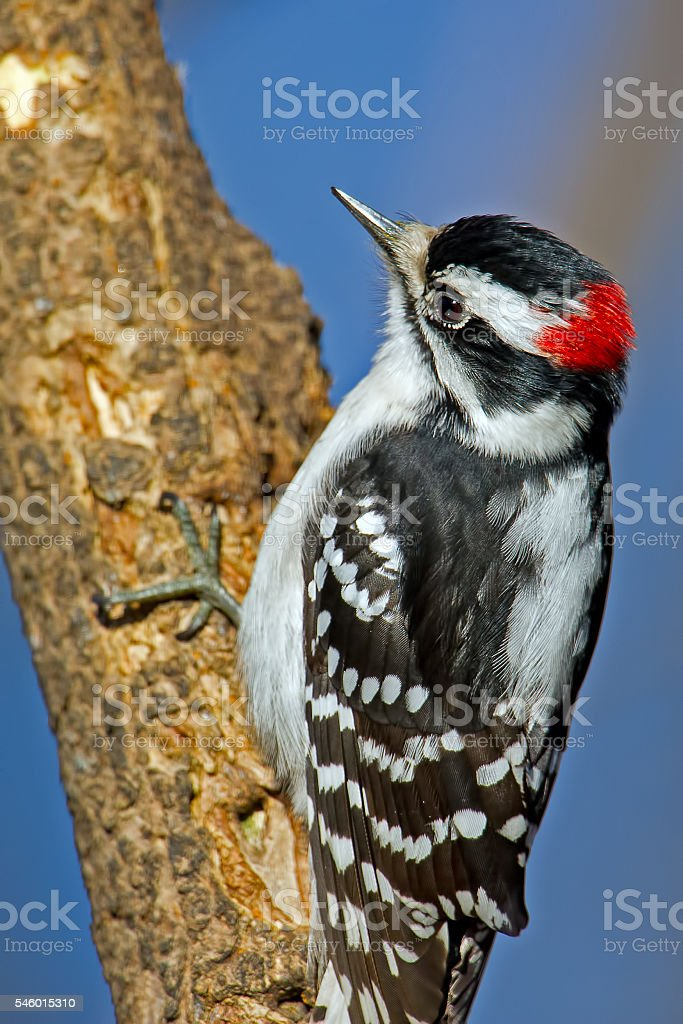 Downy Woodpecker on Tree Male stock photo