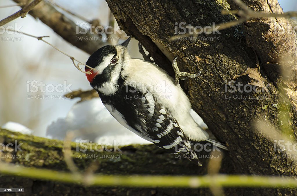 Downy Woodpecker pecking on a tree stock photo