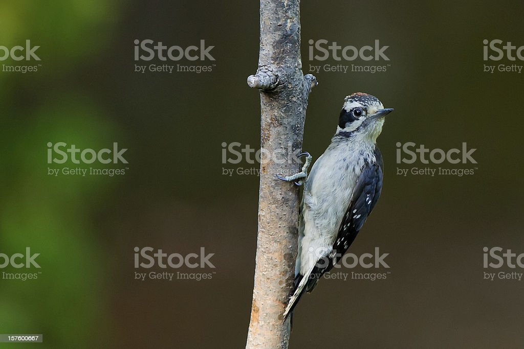 Downy Woodpecker (Picoides pubescens). stock photo