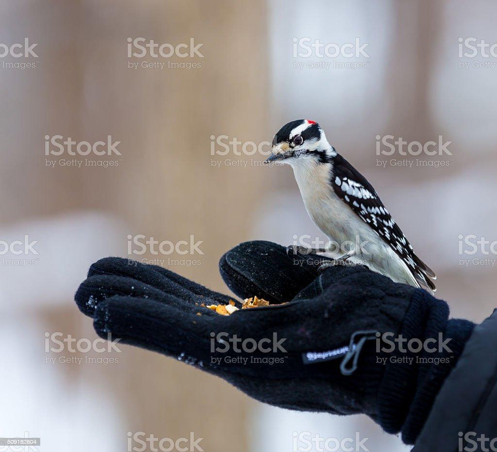 Downy Woodpecker. stock photo