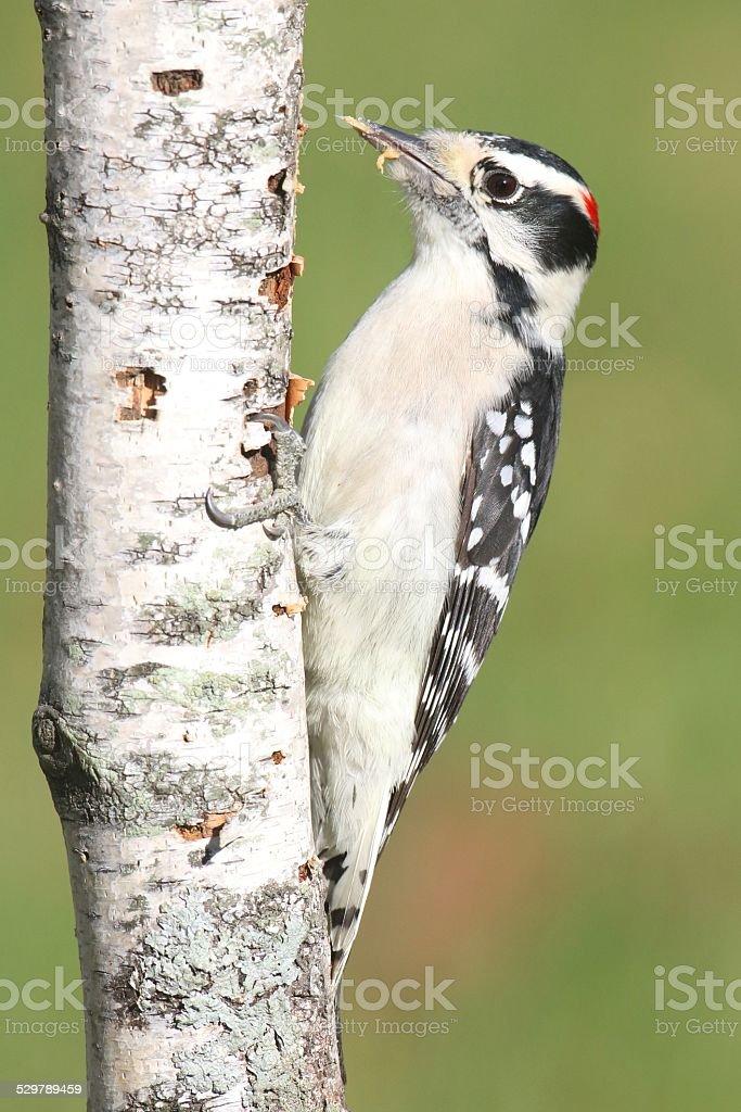 Downy Woodpecker (Picoides pubescens) stock photo