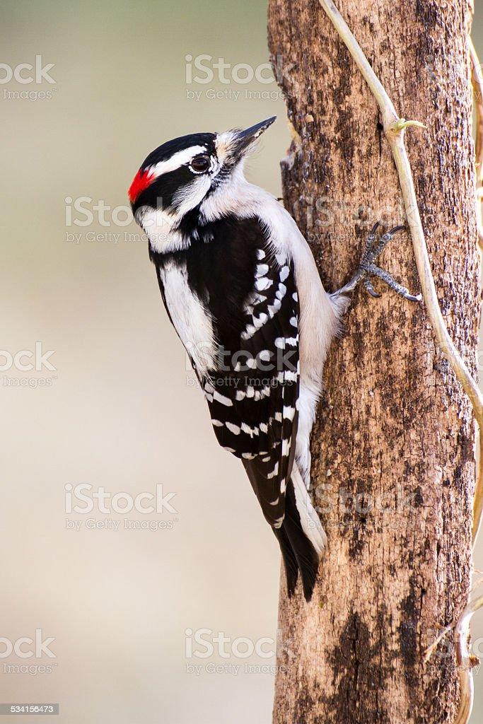 Downy Woodpecker (male) stock photo