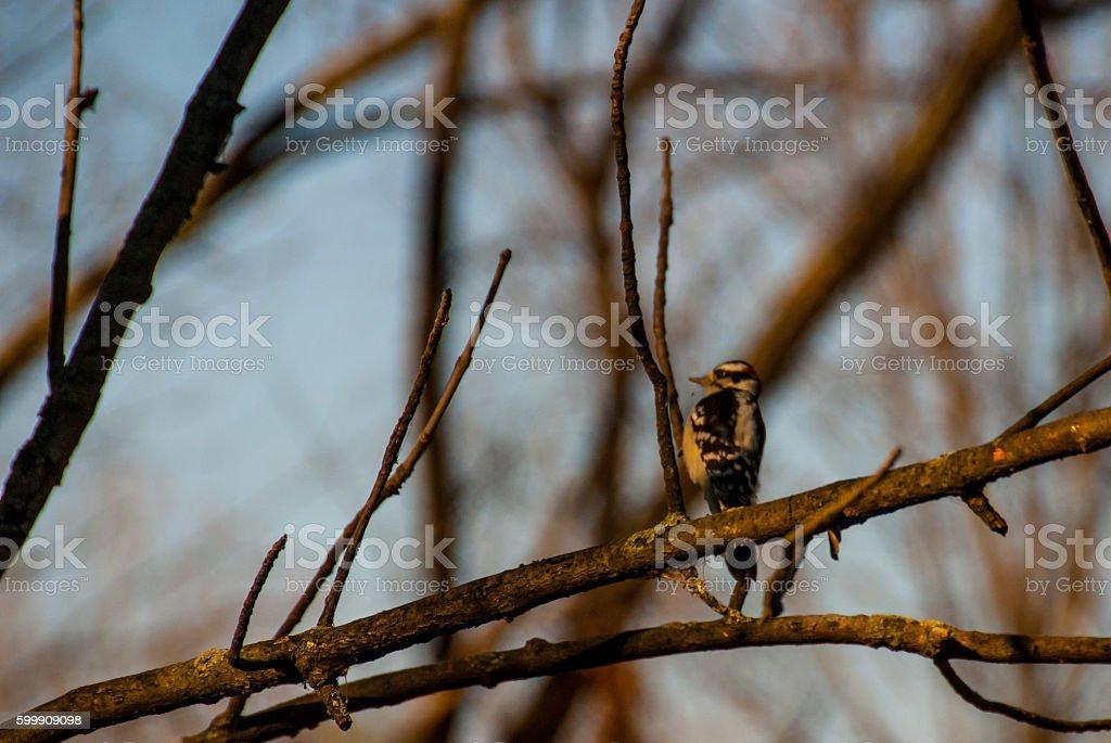 Downy Woodpecker stock photo