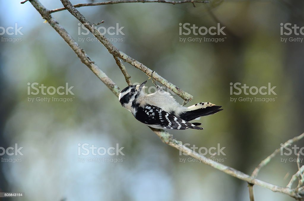 Downy Woodpecker seeking food at the end of dead twig stock photo
