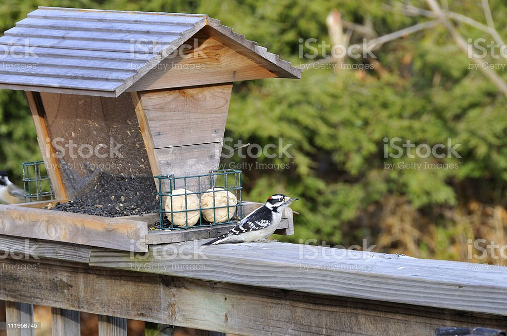 Downy Woodpecker with Sunflower Seed stock photo