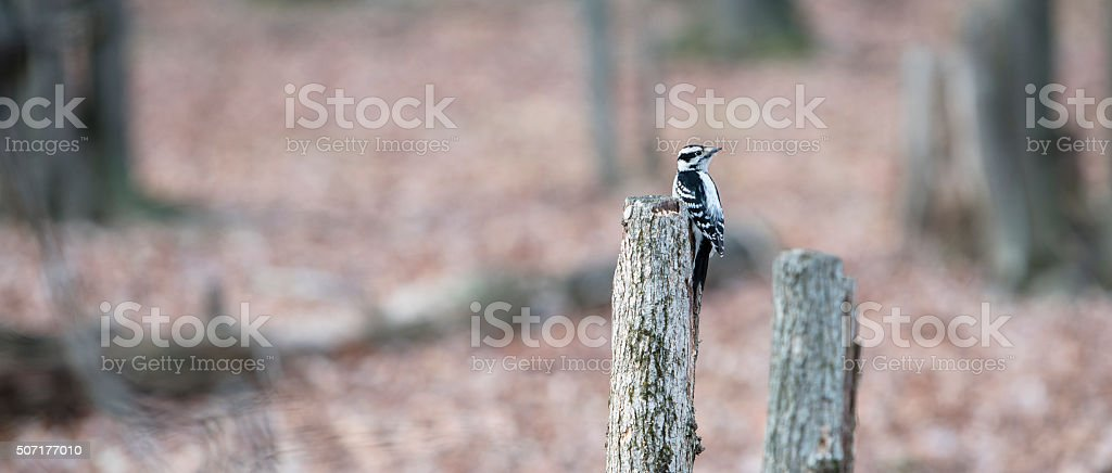 Downy Woodpeker in the forest stock photo