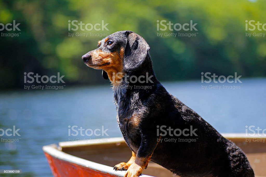 Doxie in rowboat stock photo