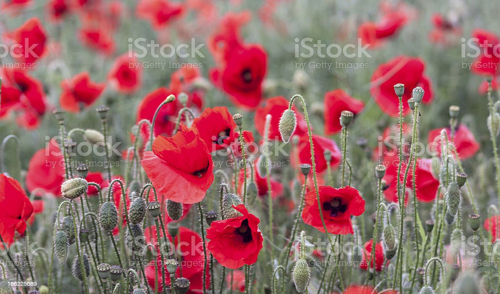 Dozens of Red Poppies stock photo