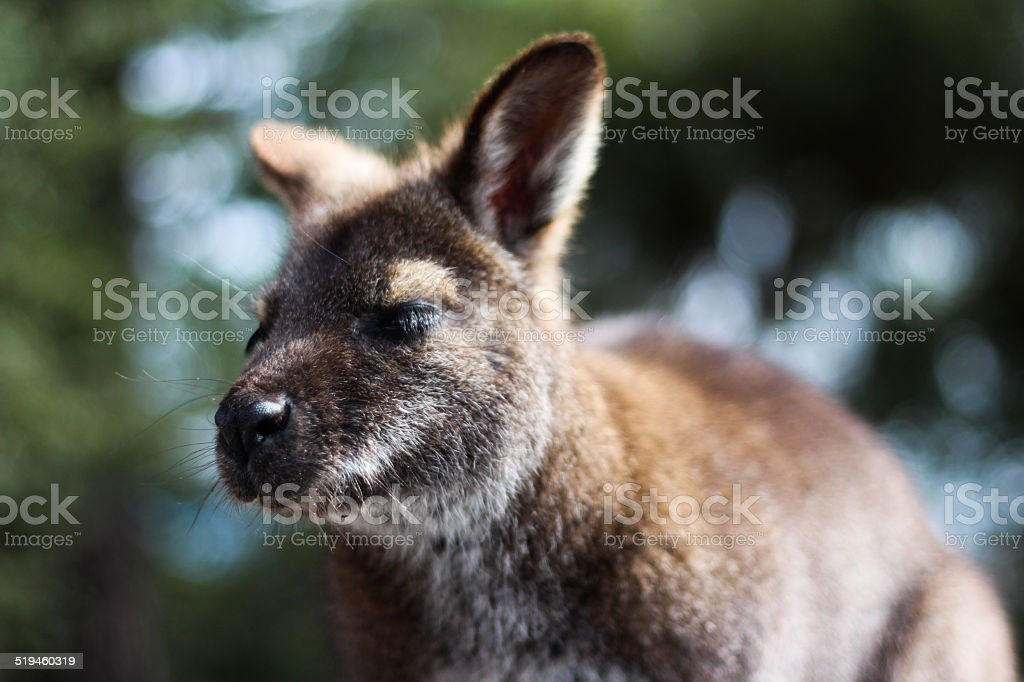 Dozy looking Wallaby stock photo