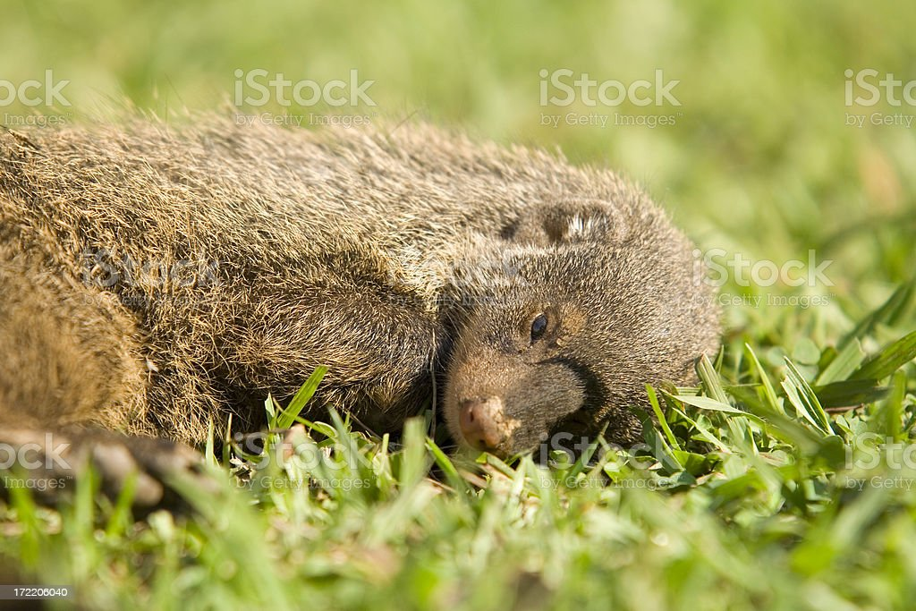 Dozy Mongoose stock photo