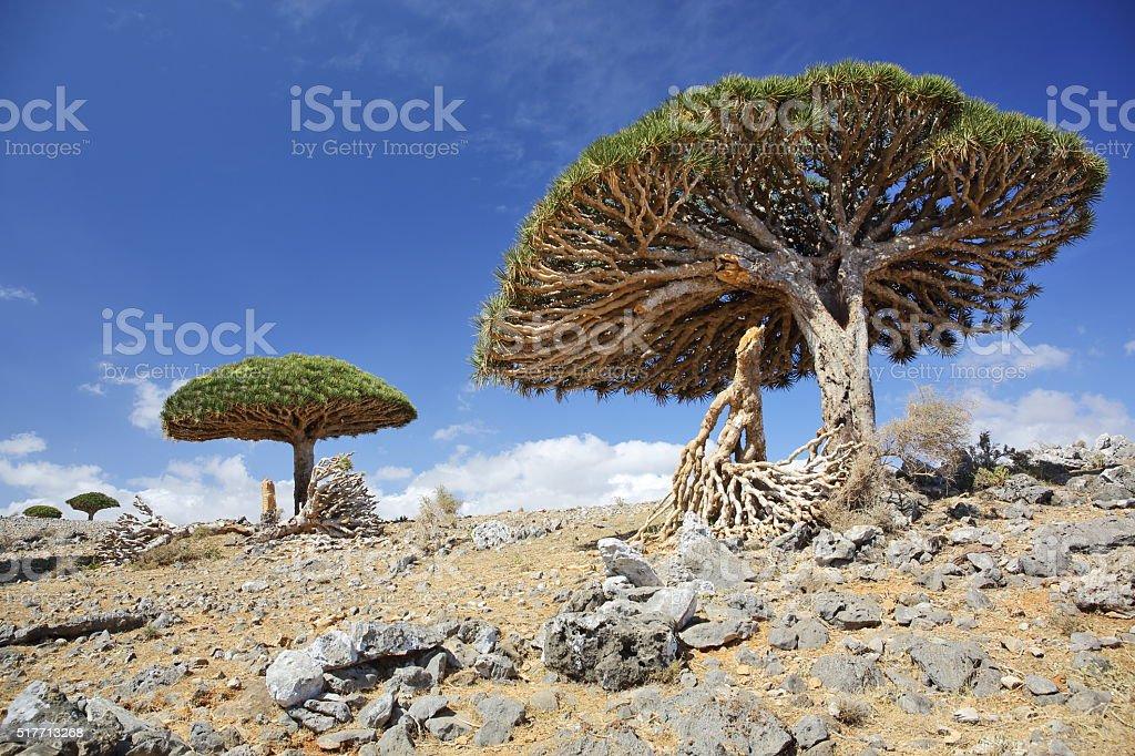 Dracaena cinnabari - endemic tree from Soqotra, Yemen stock photo