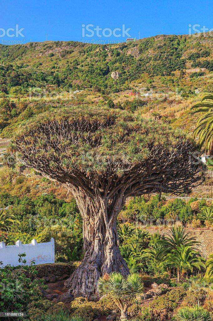 Dracaena draco, Dragon Tree - Canary Islands stock photo