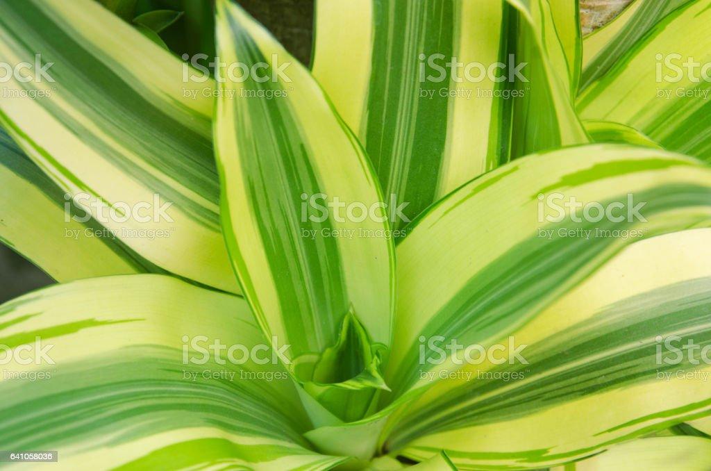 Dracaena fragrans Massangeana stock photo