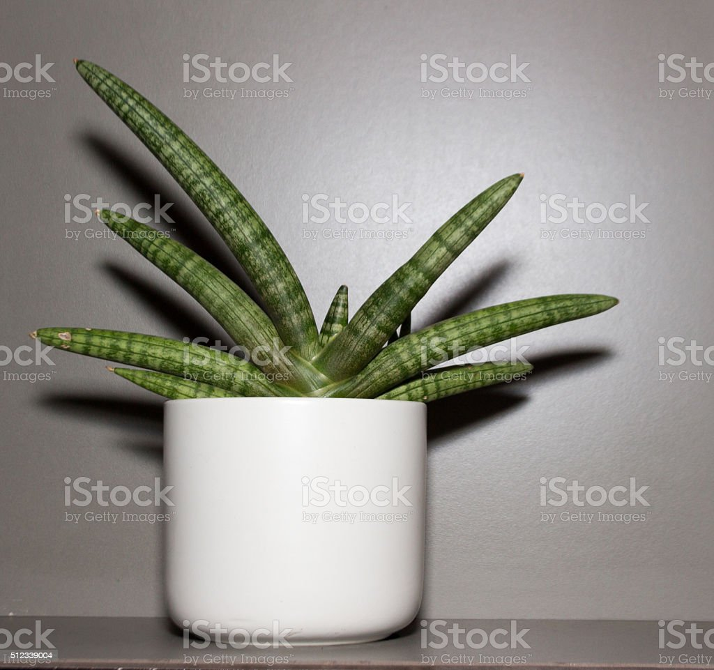 Dracaenaceae decoration on vase stock photo
