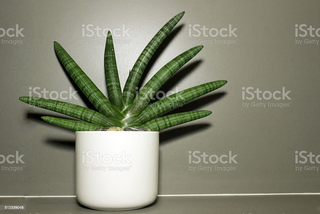 Dracaenaceae decoration on vase stock photo