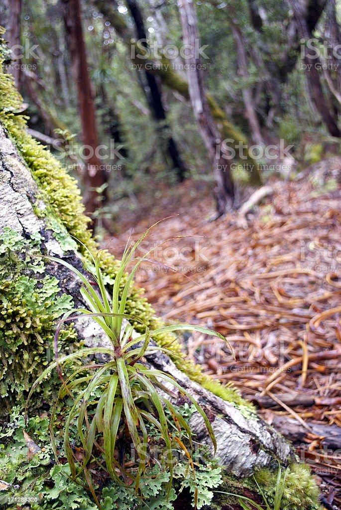 Dracophyllum Elegantissimum Seedling stock photo